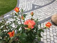 Rosen für die Angebetete